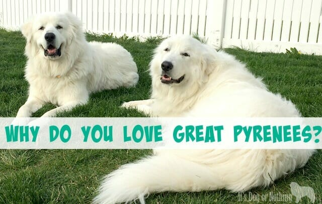 We all have different reasons for loving this beautiful breed, but here are a few common reasons for loving Great Pyrenees!