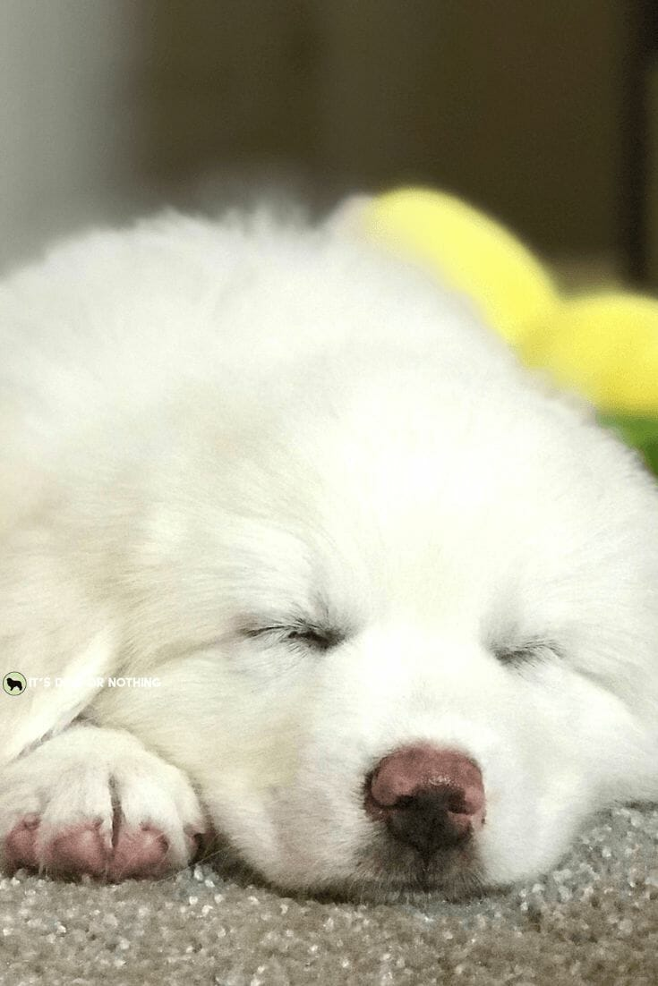 8038088e So You Want a Great Pyrenees? - It's Dog or Nothing