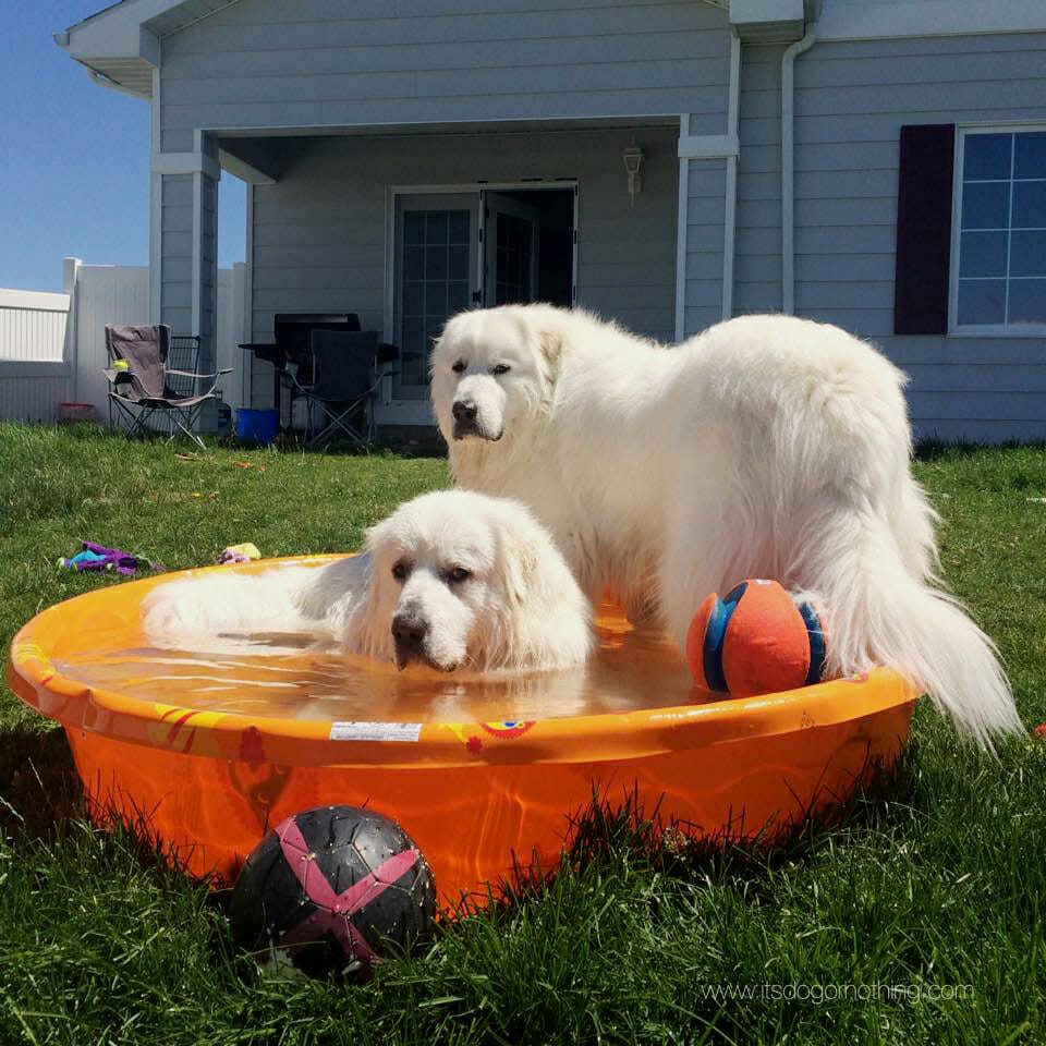 Great Pyrenees with Chuckit toys in pool