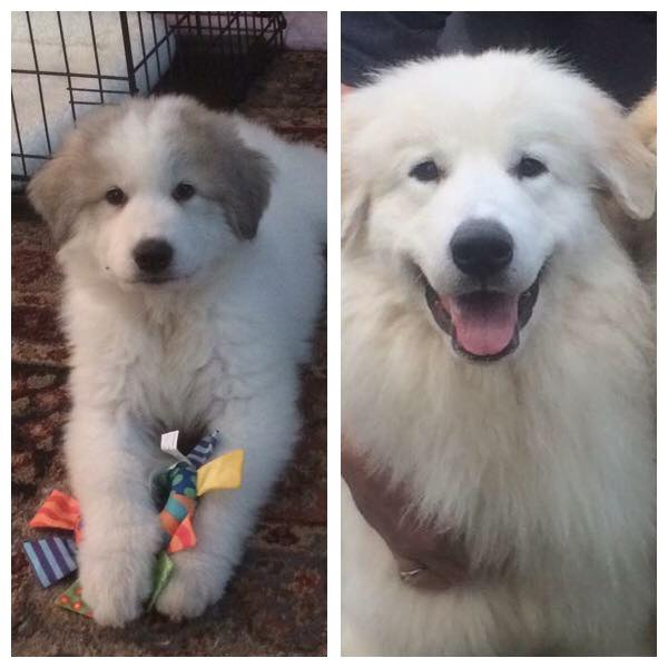 Debby Takacs Woodward's Izabella at 8 weeks and 7 months. When badger marks fade, they typically fade quickly!