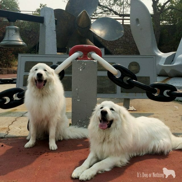 Great Pyrenees in Helena, Montana