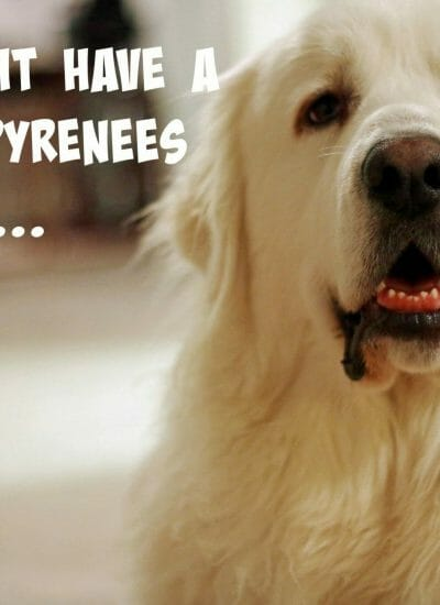You Might Have a Great Pyrenees If…