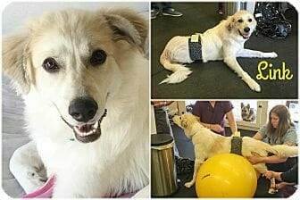 Meet Link – The Wheelchair-Bound Great Pyrenees