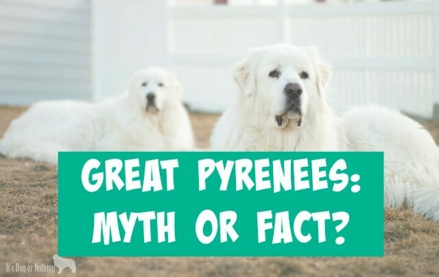 When it comes to the Great Pyrenees breed, do you know what is myth and what is fact? We have 7 common statements about pyrs with information on their validity!