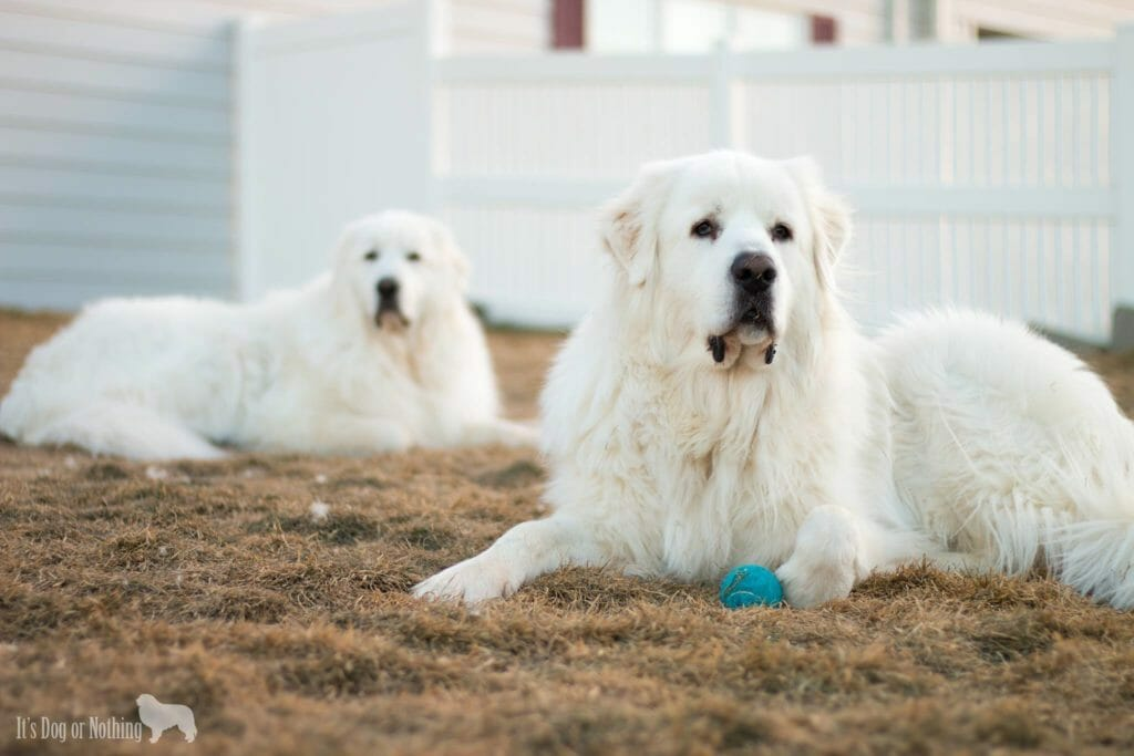 When it comes to the Great Pyrenees breed, do you know what's a myth and what's a fact? Here's the truth behind seven common statements about pyrs.