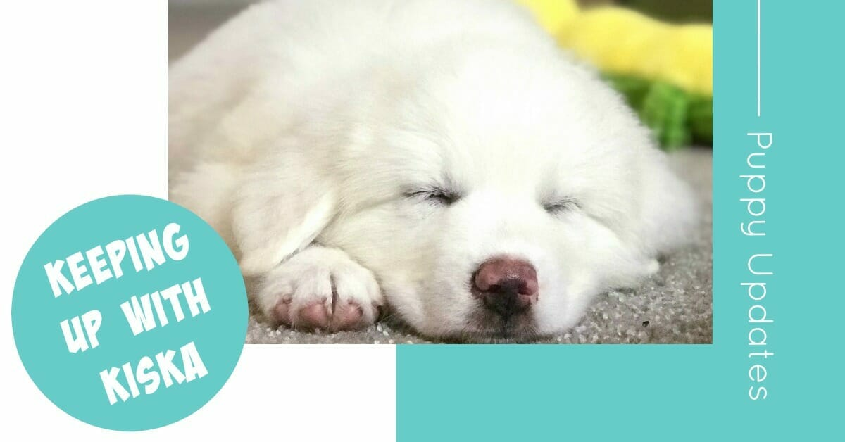Watch our Great Pyrenees puppy, Kiska, as she grows!