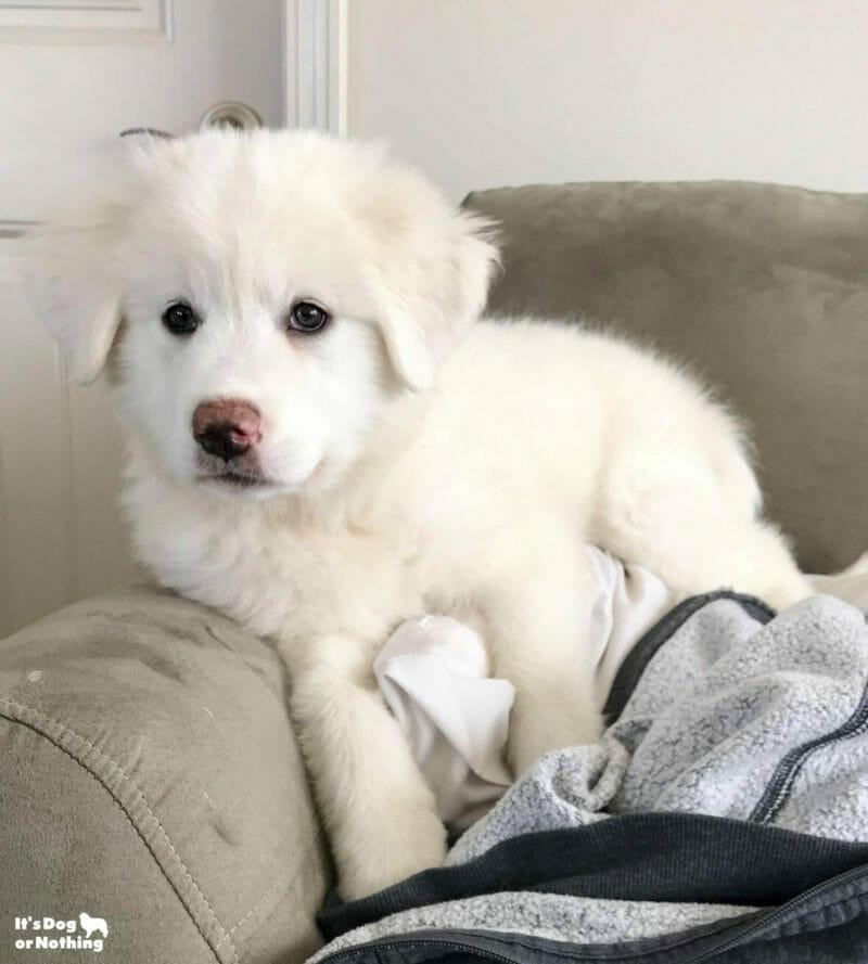 Kiska, our Great Pyrenees puppy, at 10 weeks.