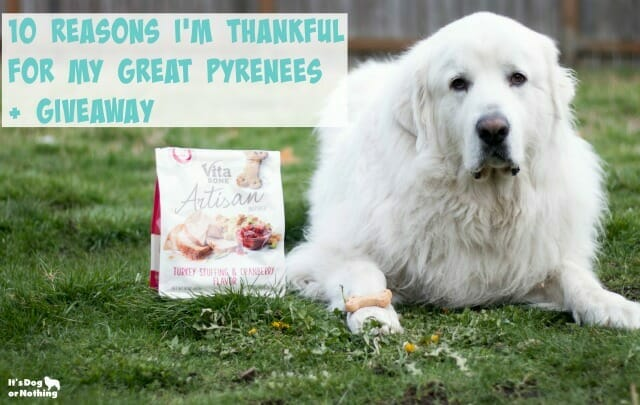 10 Reasons I'm Thankful for My Great Pyrenees + GIVEAWAY