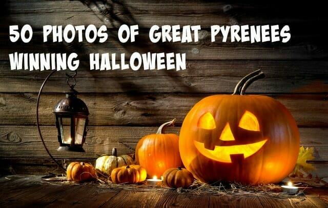 50 Photos of Great Pyrenees Winning Halloween