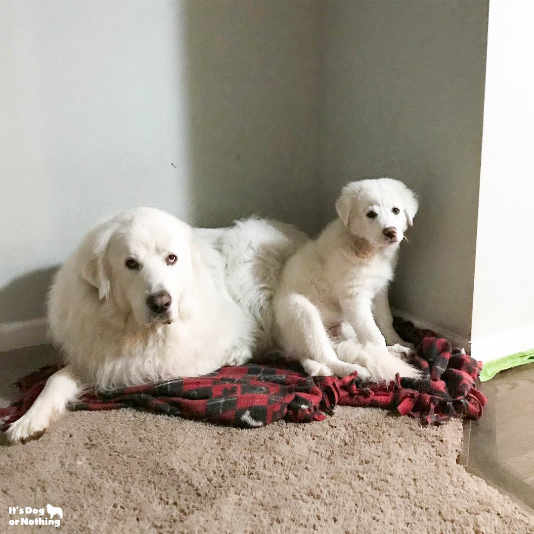 It's been awhile since we've updated, but here is Kiska, our Great Pyrenees puppy, at 4 months!
