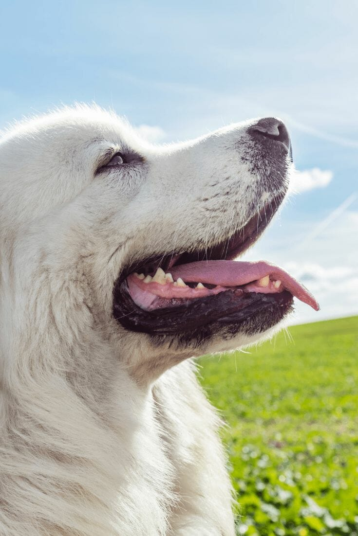 Don't Make These Comments to Great Pyrenees Owners