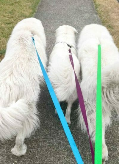Great Pyrenees Tips (from people who know the breed)