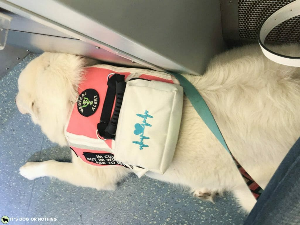 A foster failure turned service dog. Here's what Kiska the Great Pyrenees will be learning over the next year or two.