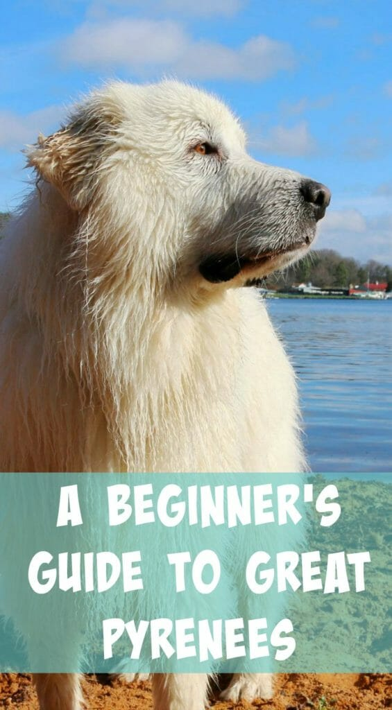Great Pyrenees Info - A Beginner's Guide - It's Dog or Nothing