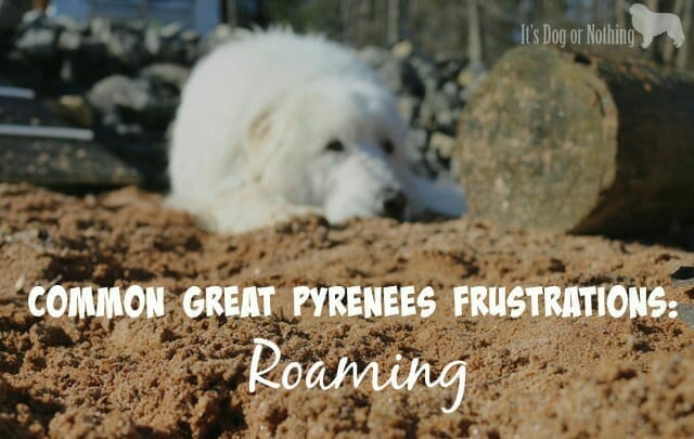 Great Pyrenees roaming is a problem most pyrentscan understand. Here are our top tricks to prevent your dog from going on a solo adventure.