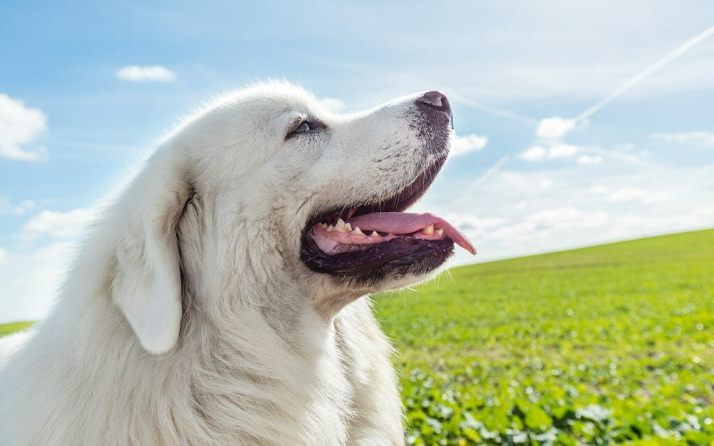 Great Pyrenees are beautiful, majestic dogs, but they're not for everyone. If you want a pyr, consider these six things first.