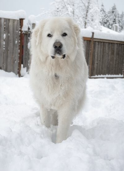 11 Great Pyrenees You Need to Snuggle Like Right Now