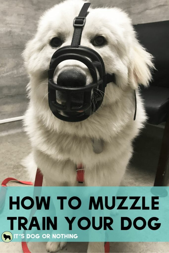 """Muzzle training isn't for """"bad"""" dogs. Every dog, even the most social, easy-going dogs, can benefit from muzzle training. Here's how to choose a muzzle a simple way to acclimate your dog."""