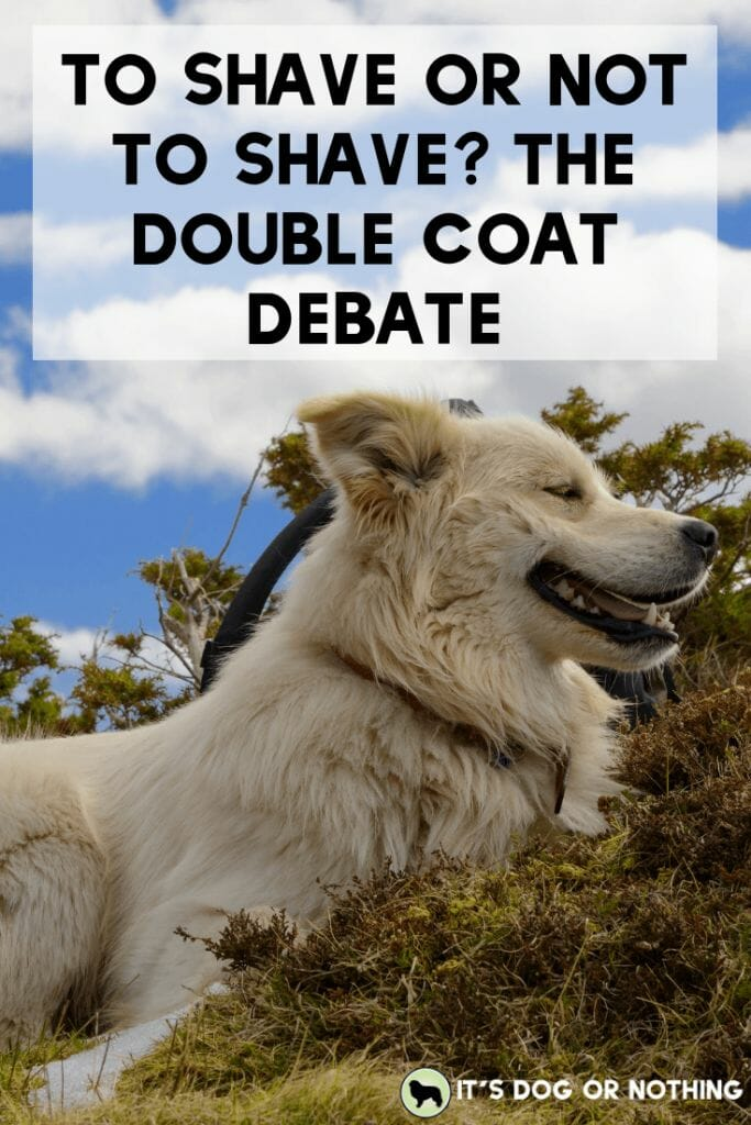 It's that time of year—should you shave your double-coated dog or not? There's a lot to consider before making that decision.