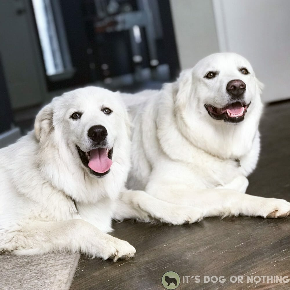 Two Great Pyrenees smiling
