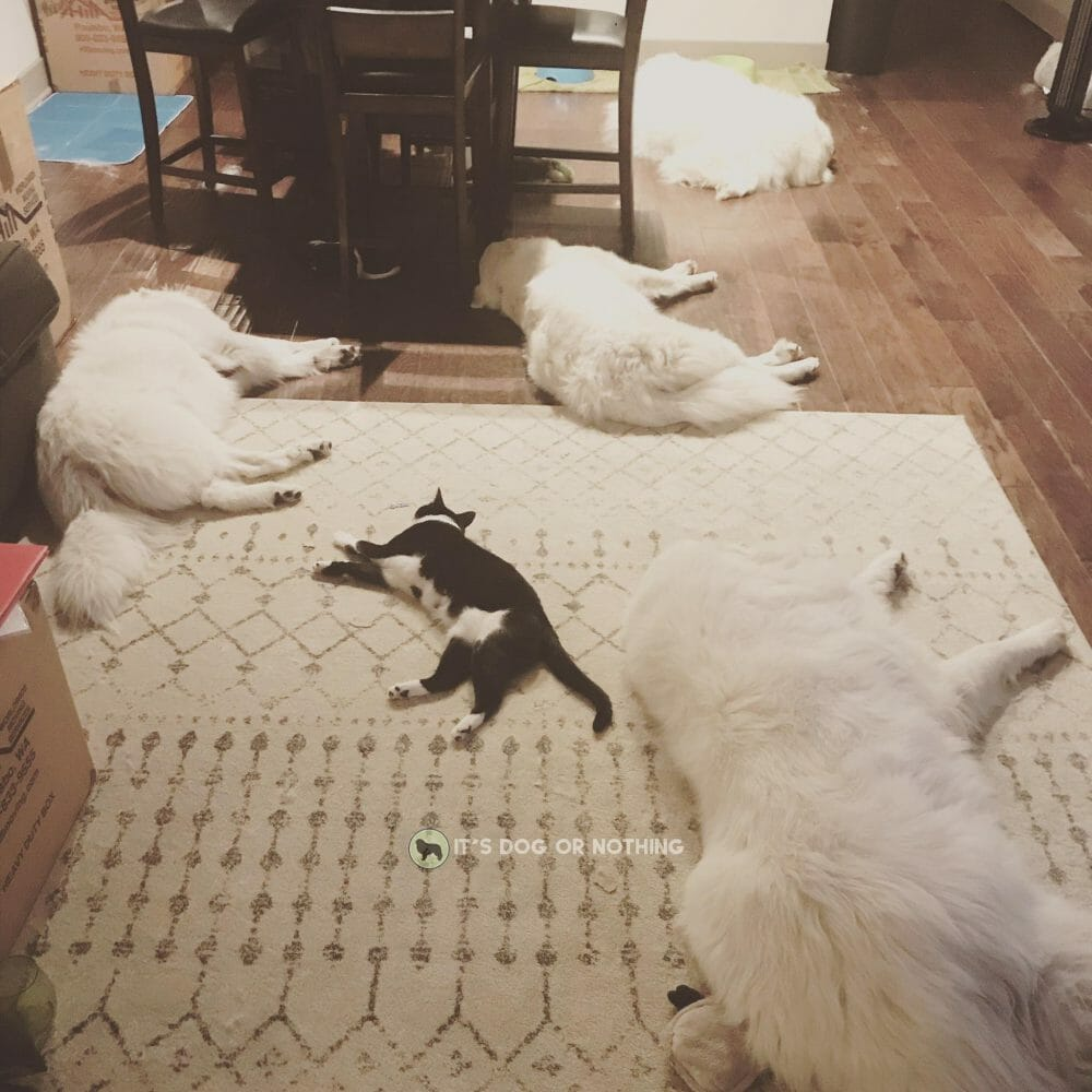 Four Great Pyrenees and a cat