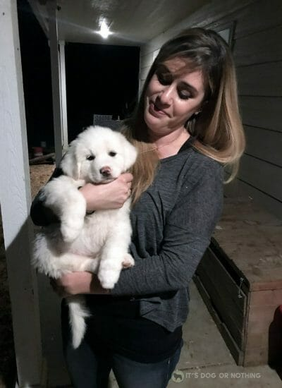 Adorable Great Pyrenees puppy