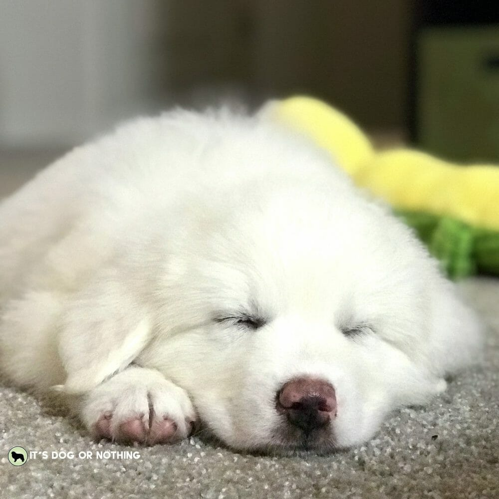 Great Pyrenees puppy sleeping