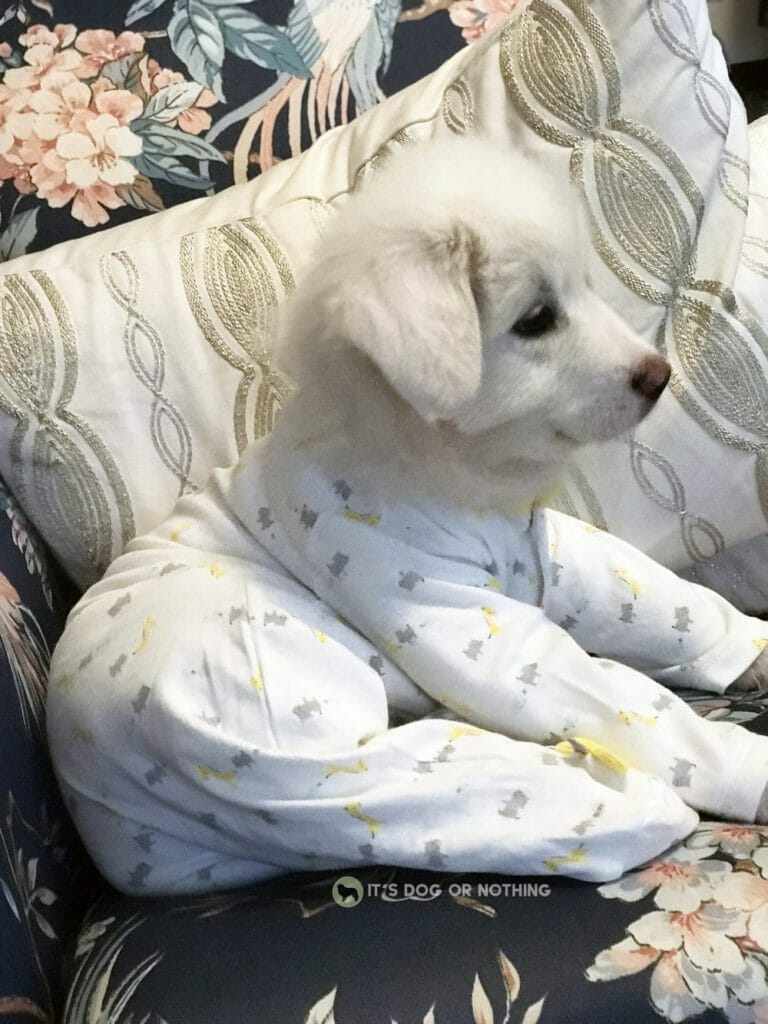 Great Pyrenees puppy in pajamas