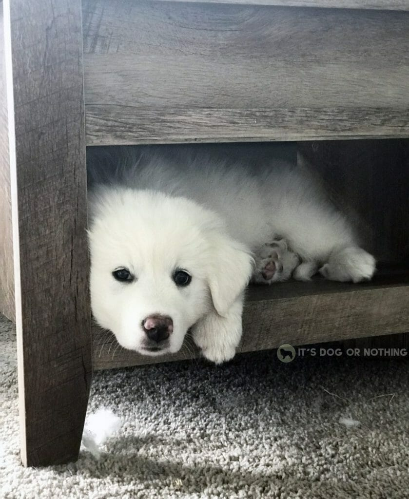 Great Pyrenees puppy on furniture